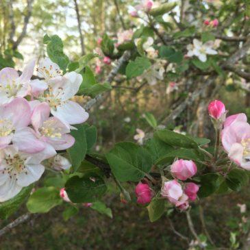 Les pommiers sauvages sont en fleurs!